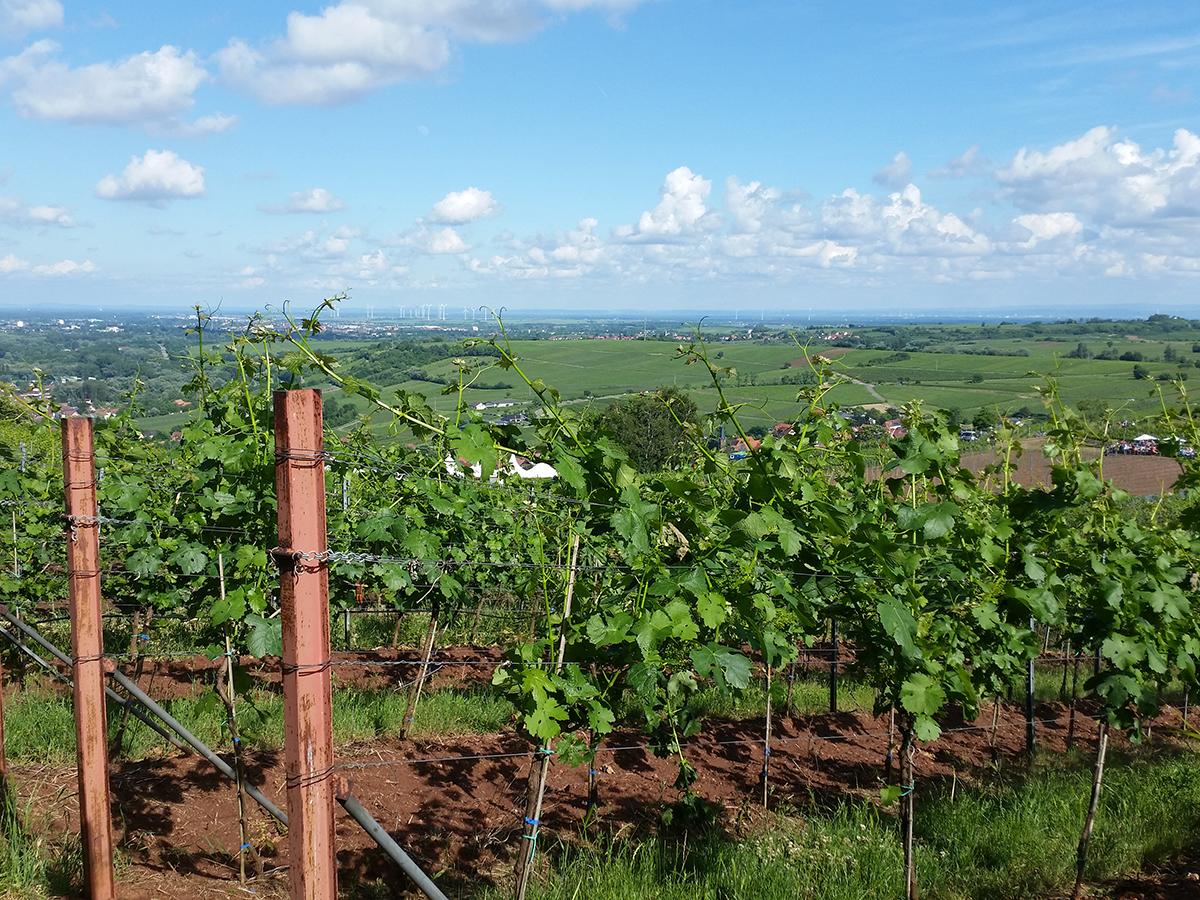 PHOTOPUR will in den kommenden drei Jahren ein kostengünstiges und umweltschonendes Reinigungsverfahren entwickeln, mit dem Abwässer aus dem Weinbau aufbereitet werden können. Foto: PHOTOPUR