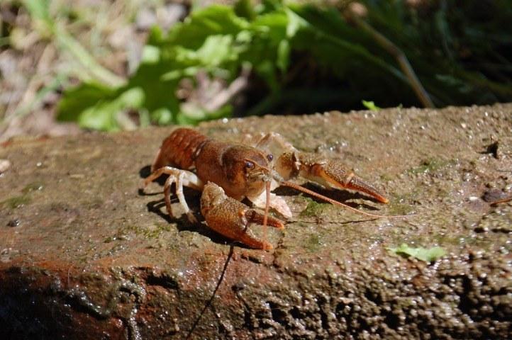 EU-Projekt zum Schutz von gefährdeten Flusskrebsen in Pfälzerwald und Nordvogesen