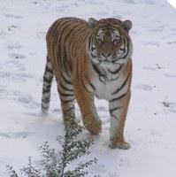 Tiger Igor im Schnee