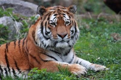 Tiger Igor