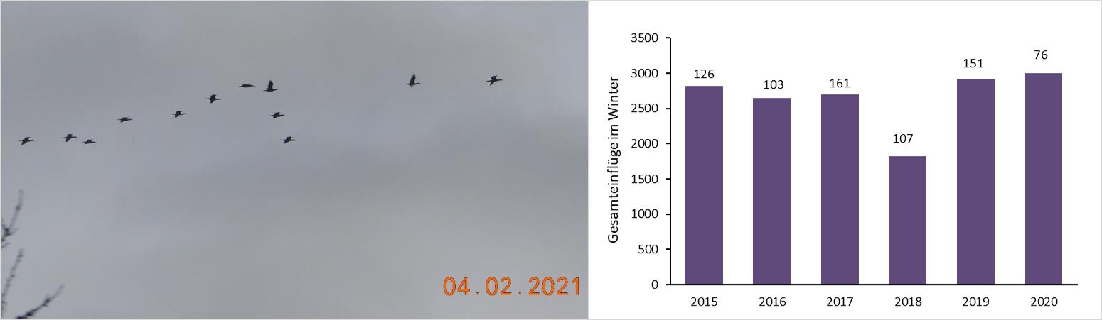 Kormoraneinflüge an der Nister Foto und Hochrechnung der Einflüge im Winter von 2015-2020.