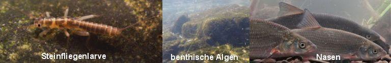 Intro_Larve_Algen_Fische