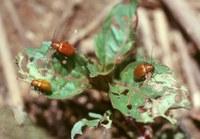 Afrocrania kakamegaensis Middelhauve & Wagner, 2001
