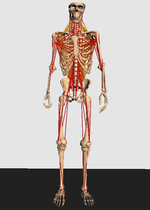 Modell Skelett vorne