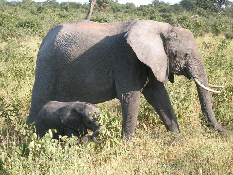 Botswana 2 Elephants