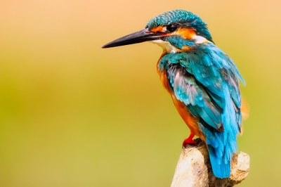 Biodiv_Eisvogel