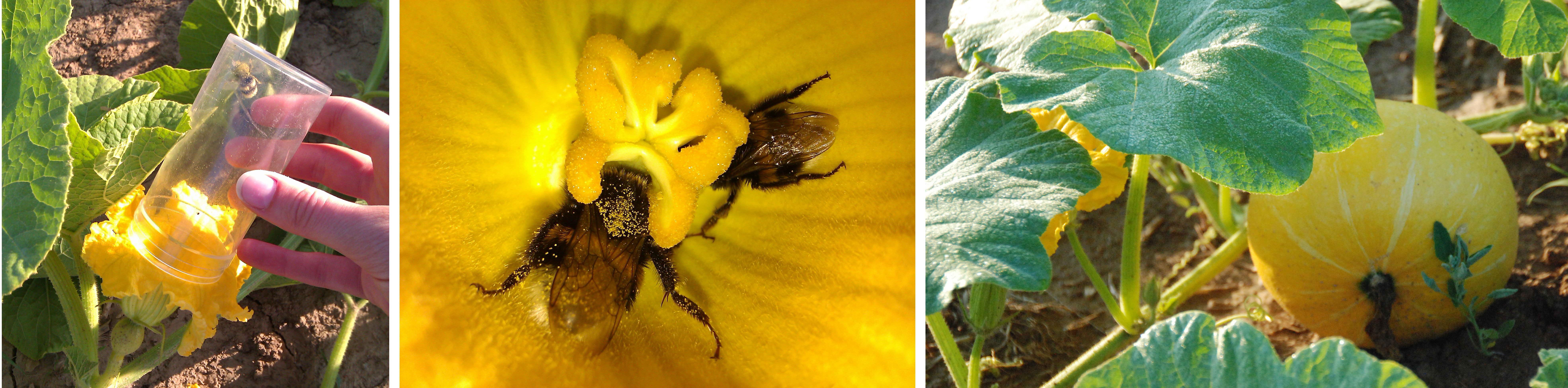 Kürbis_pollination