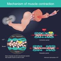 Mechanismus der Muskelkontraktion
