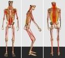 Segmentiertes Skelettsystem mit implementierten Kraftelementen für Bandscheiben und Ligamente der Wirbelsäule, sowie für die Muskelzüge