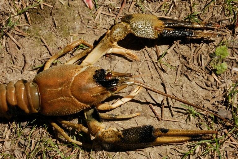 narrow-clawed crayfish