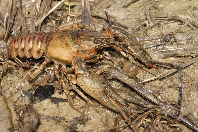 spiny cheek crayfish