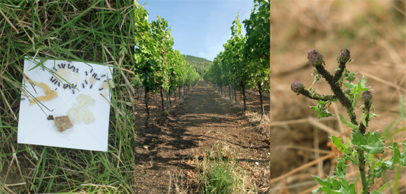 vineyards-ants