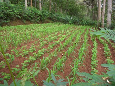 Agroforestry experimental plots
