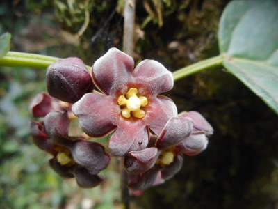 Potentially new species of Apocynaceae