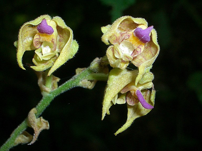Polystachya bruechertiae